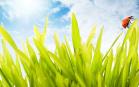 Sfondo desktop sulla natura - Coccinelle su un filo d'erba